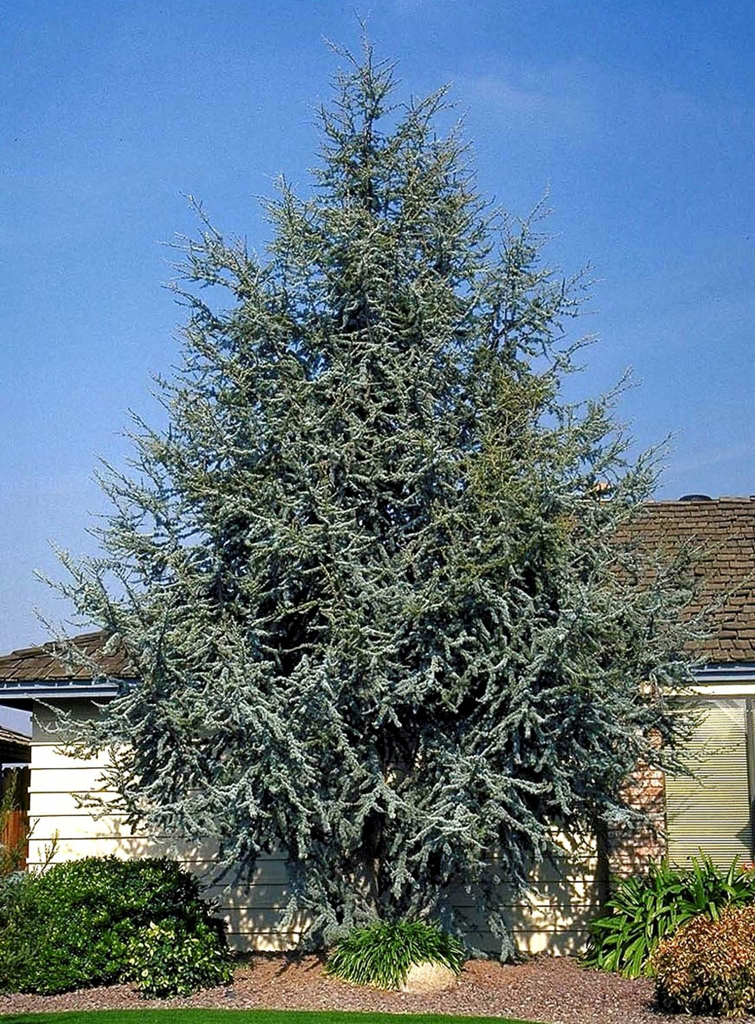 The-Atlas-cedar