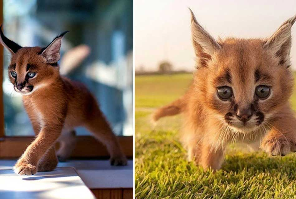 the-caracal--baby