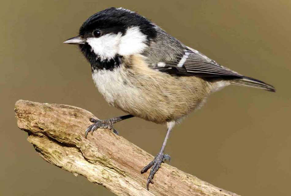 the-coal-tit