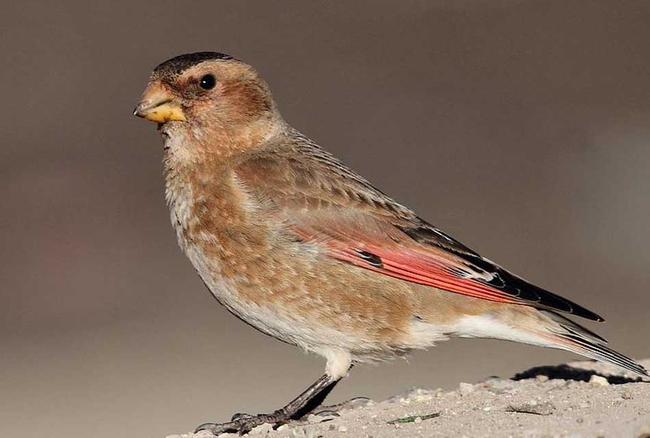 the-crimson-winged-finch