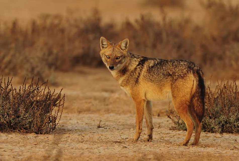the-golden-jackal